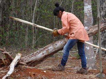Lijando maderas que serán utilizadas como polines